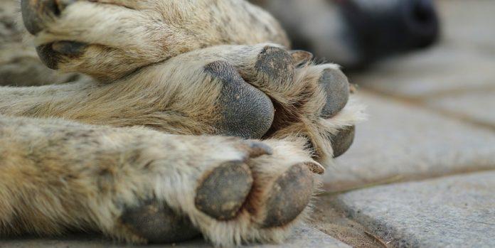 cane castelcivita