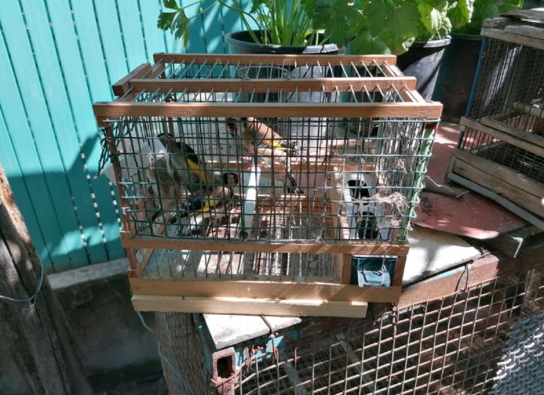Angri, tutela della fauna, liberati cardellini illecitamente detenuti