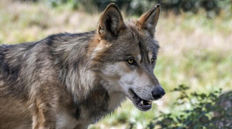 San Cipriano Picentino: cane aggredito e sbranato da un lupo