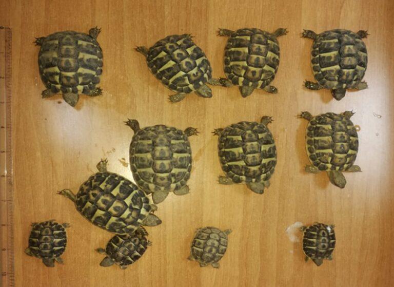 Scafati, Carabinieri sequestrano tartarughe protette da legge